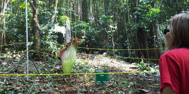 Bunga Bangkai yang tumbuh di Kebun Raya Bogor